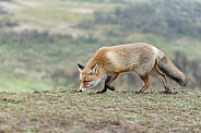 Red fox in the Dutch dunes