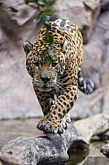 Jaguar Walking