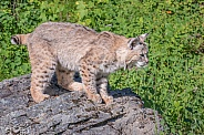 Bobcat on the Rocks