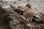 Young Australian wood duck (wild)