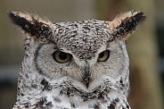 Canadian Oehoe Owl