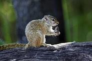 Cape Ground Squirrel - Botswana