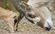 Addax and Dorcas Gazelle