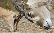 Addax and Dorcas Gazelle
