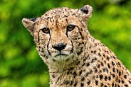 Cheetah Close Up Face Shot