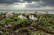 Herring gull on the coast