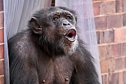 Chimpanzee Vocalising Face Shot