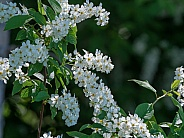 Chockcherry Flowers in Alaska