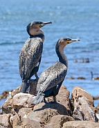 Juvenile Cape Cormorants