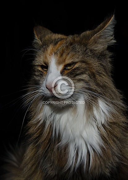 Long Haired Domestic Cat