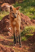Maned Wolf Standing Tall