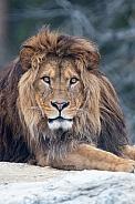Barbary lion portrait