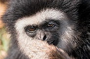 Lar Gibbon Face Shot Hand Covering Mouth