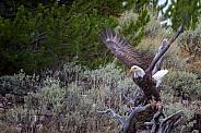 Bald Eagle Preparing for Flight