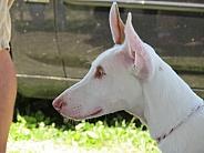Ibizan Hound pup
