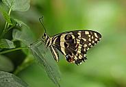 Lime Swallowtail