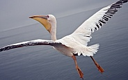 Flying with a Great White Pelican