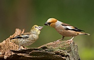 The hawfinch male feeding