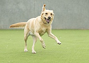 Yellow Labrador Playing