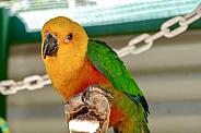 Jandaya parakeet