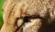 Lion face extreme close up