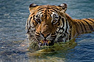 Tiger in the Pool