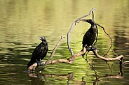 Little black cormorants (wild).