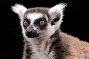 Ring Tailed Lemur Close Up Face Shot Black Background