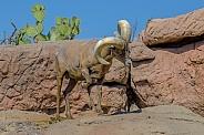 Bighorn Sheep Ram Stomping the Ground