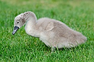 Young Swan (Cygnet)