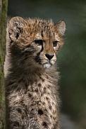 Cheetah Cub (Acinonyx Jubatus Jubatus)