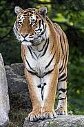Amur Tiger Standing