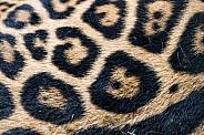 Close up Jaguar spots/fur