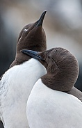 The common murre or common guillemot (Uria aalge)