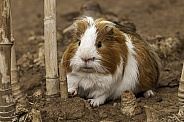 Guinea Pig Full Body