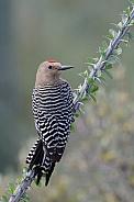Gila Woodpecker (Male)