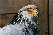 secretary Bird, close up