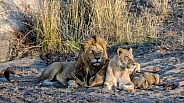 Lion Family together at Dawn