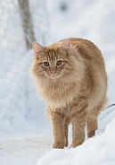Sandy coloured cat in the snow