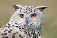 Siberian eagle-owl (Bubo bubo sybericus)