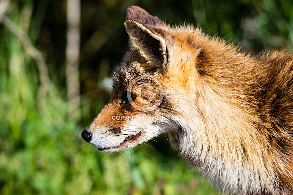 Red Fox close-up
