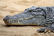Crocodile (Crocodylinae)