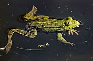 Frog Full Body In Water