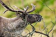 Tundra Raindeer - Finland