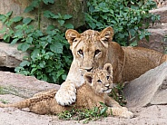 Lioness is playing with her young sister