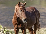 Salt River wild horse in AZ standing by the river