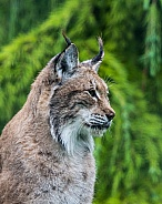 Lynx in profile
