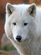 White wolf (Canis lupus hudsonicus)