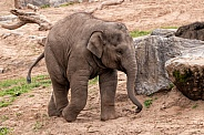 Asiatic Elephant Calf Full Body