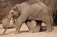 YoungAsian Elephant